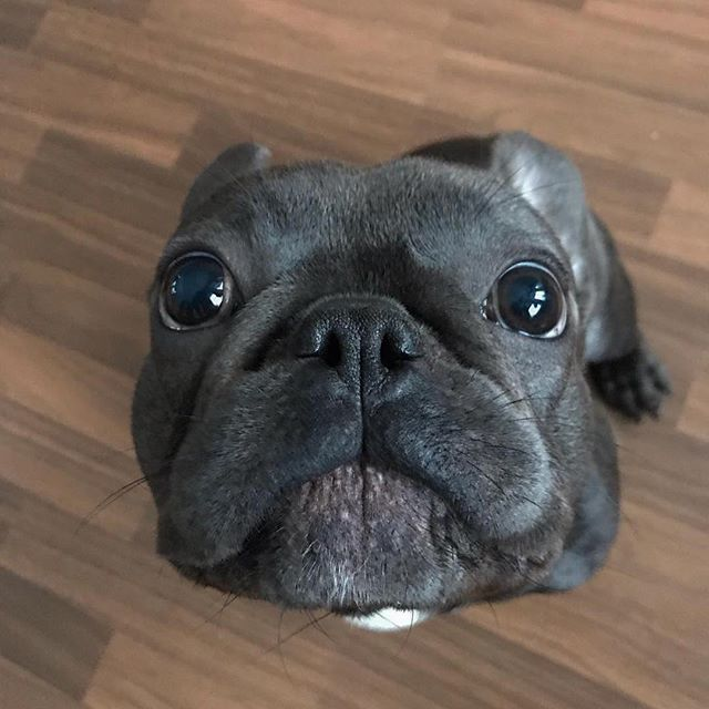 Treats please 🥺 👉 @nils_thefrenchie . #puppyeyes #frenchie1 #happypuppy #dogslife🐶 #stella_and_friends #puppylove #dogsarelife #cutepictures #lovepup #frenchbulldogpuppy #frenchbulldog