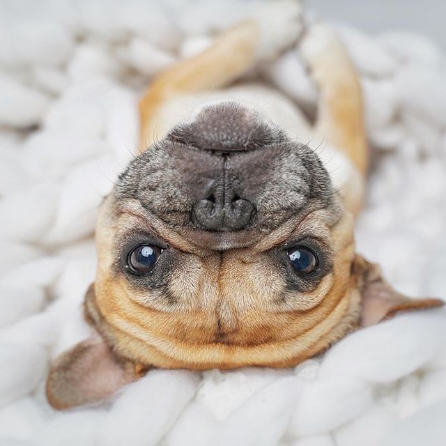 """@gusgusinthecity """"Turning my frown upside down isn't going to make me less cranky!!"""" 😂 . #funnydog #funnypuppy #stella_and_friends #frenchie1 #puppy #topdogsofinstagram #frenchie #frenchbulldog #frenchbulldogstyle #puppylife"""