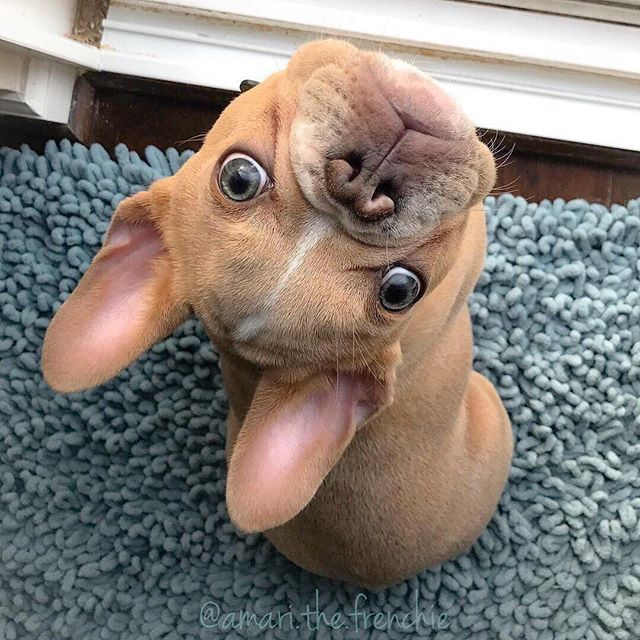 Upside down Puppy 🐶🙃❤️ 👉 @amari.the.frenchie . . . #stella_and_friends #frenchielife  #frenchiepuppy #frenchbulldogdaily  #frenchielove  #bulldoglife  #frenchbulldogsofinstagram  #frenchieoftheday  #frenchieoverload  #frenchiemoments  #bulldog  #ilovemyfrenchie  #puppydog  #bulldogoftheday  #frenchbulldogpuppy  #frenchiepup