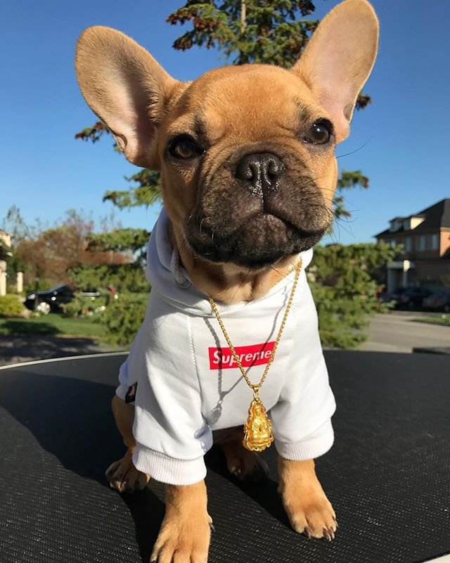 Bad to the bone 🐶😆😂 👉 @miss.snoopy . . . #topdogsofinstagram #stella_and_friends #frenchiepuppy #frenchiesoverload #frenchiesociety #frenchieoftheday #frenchielove #frenchiestagram #frenchiebulldog #frenchielife #frenchieworld #frenchies #frenchbulldoglovers #frenchbulldogpuppy #frenchbulldoglove #frenchbulldoglife