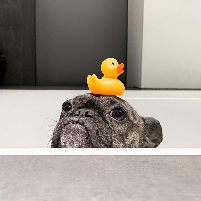 Have you seen my rubber ducky? 😂😂 👉 @frieda_the_frenchie . #puppybath #funnydog #dogswithstyle #hilariouspuppy #stella_and_friends #dogsarefamily #puppylife #frenchbulldog #toofunny #topdogsofinstagram #frenchie