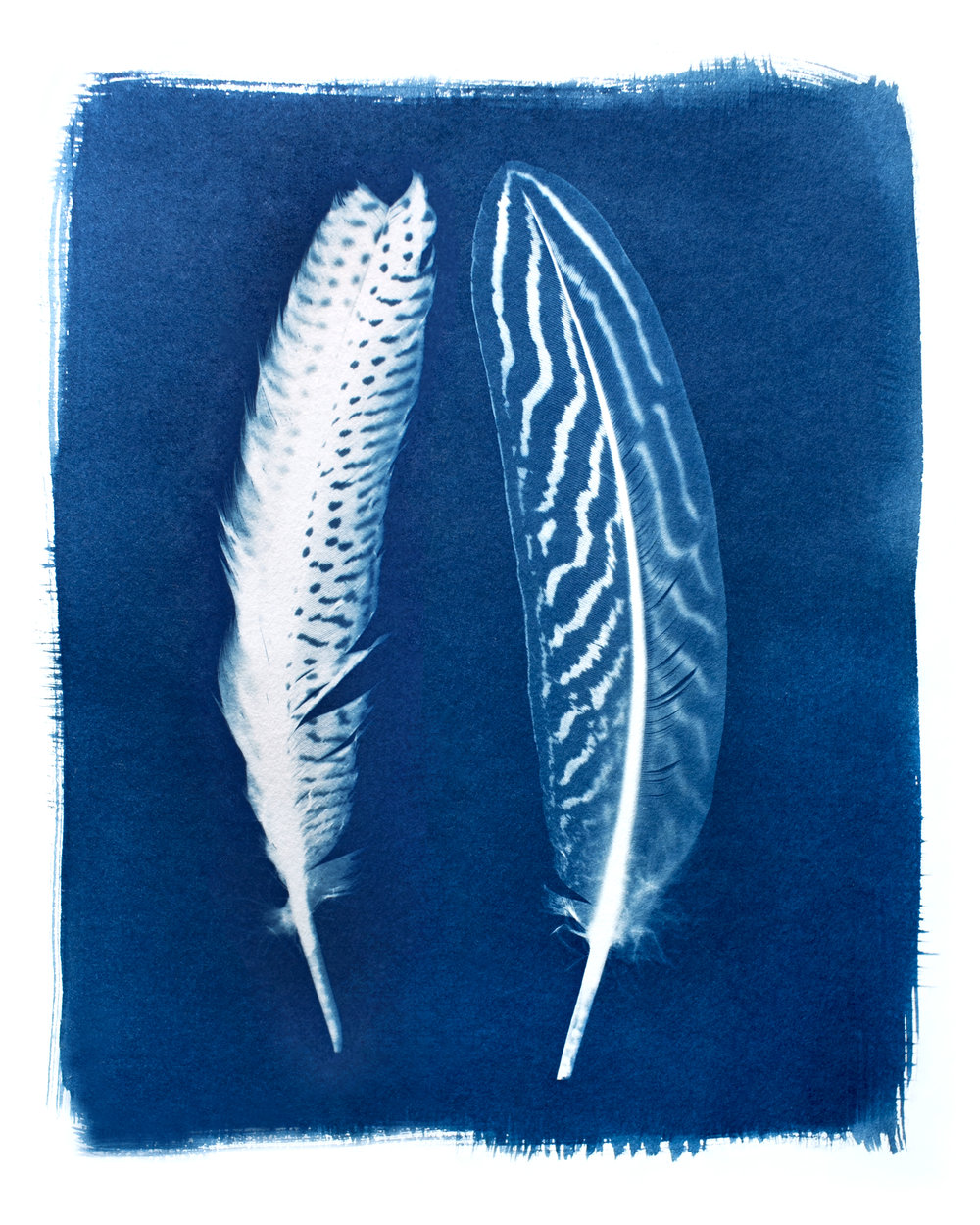The reproduction of the original cyanotype with two feathers.