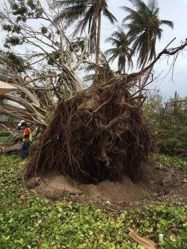 tree uprooted.jpg