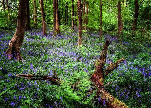 #FridayPhoto | One of the most beautiful sights in late spring: the ancient wood at Portglenone carpeted with bluebells. Gilbertlennoxphotography.com