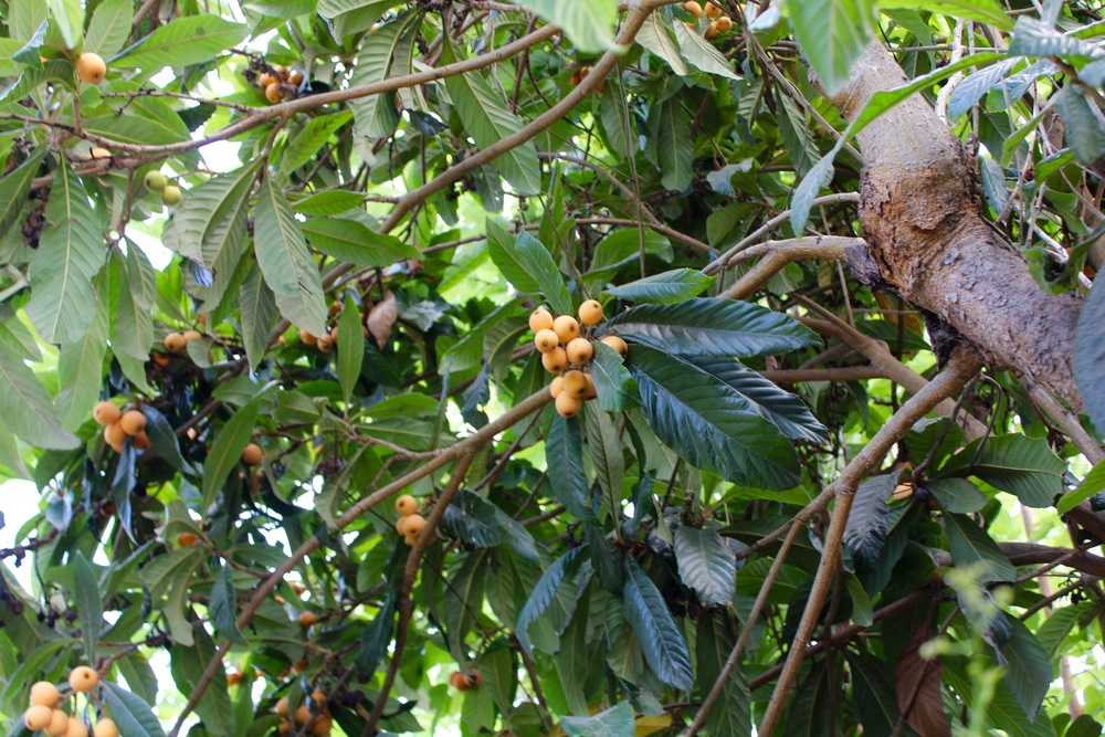 Each branch is covered in loquats.