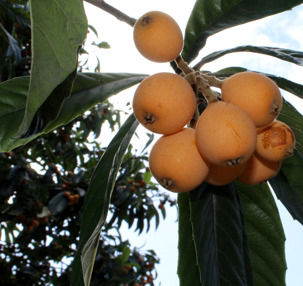 Like most heirloom varietals, loquats are too delicate for commercial transport.