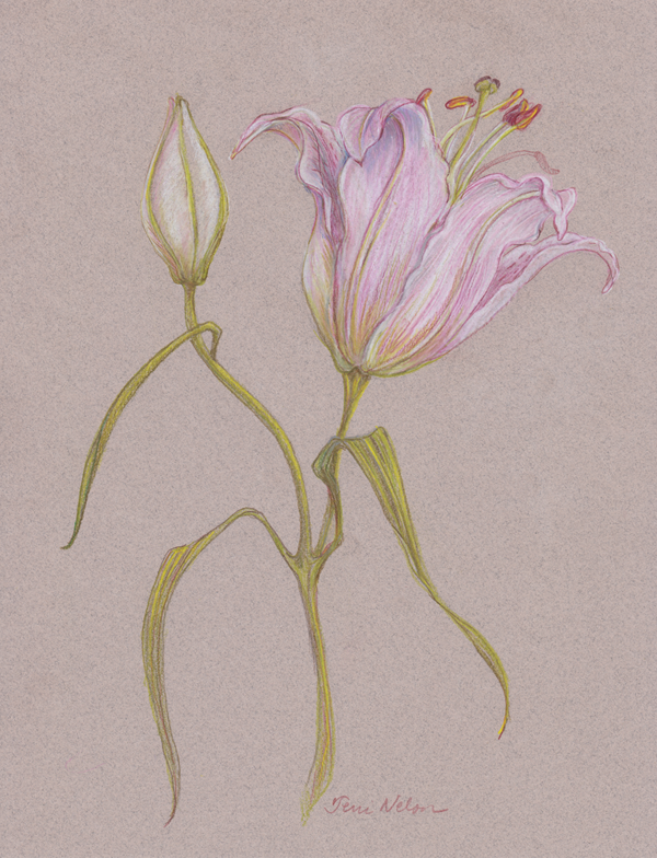 Lilly-Botanical-drawing---06-27-2013.png