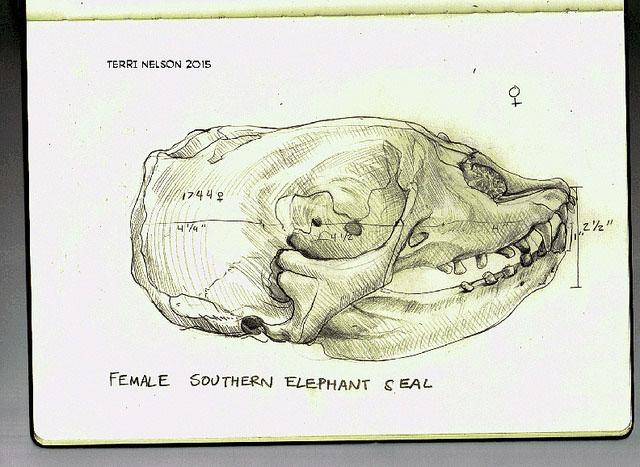 femaleelephantseal.jpg