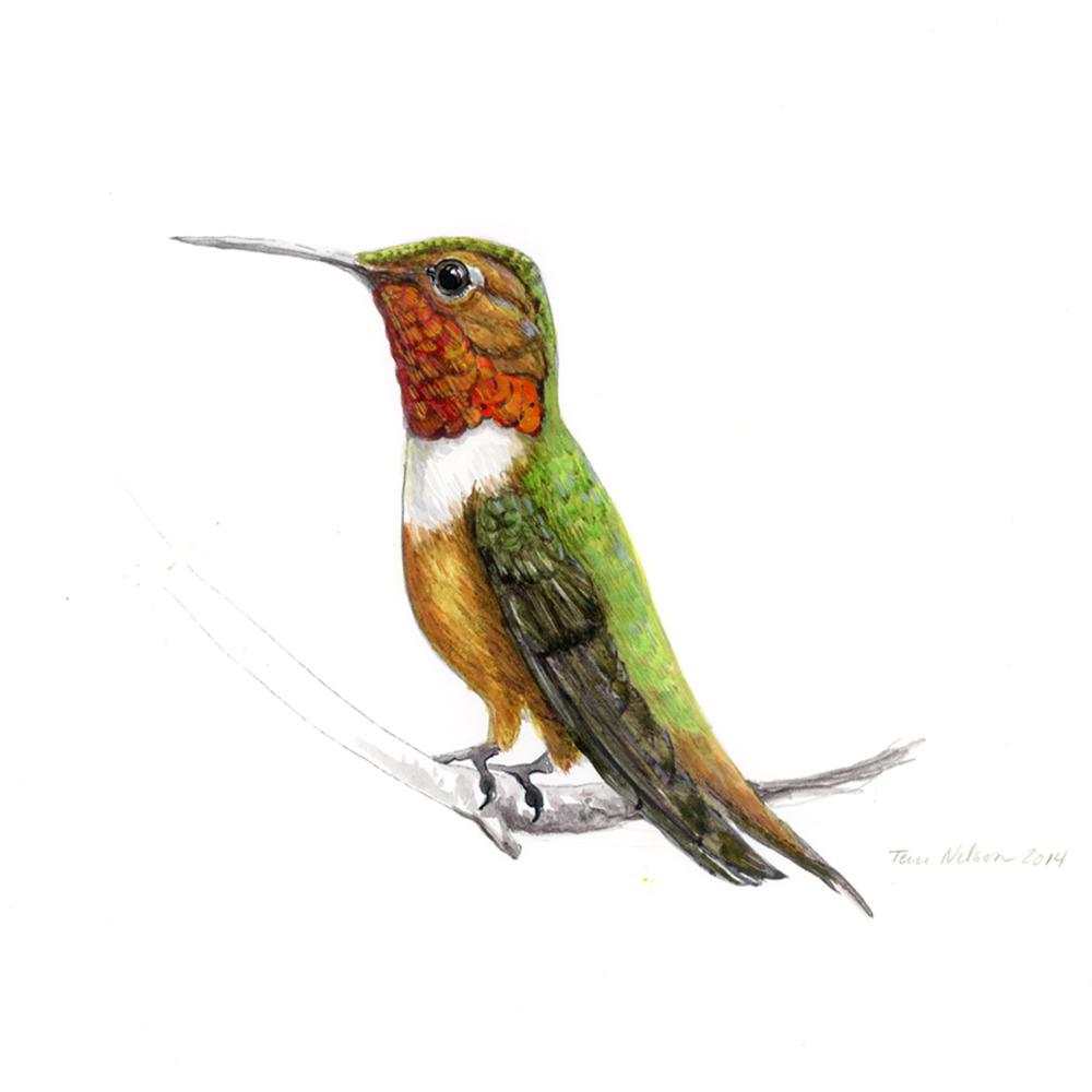 AllensHummingbird.jpg