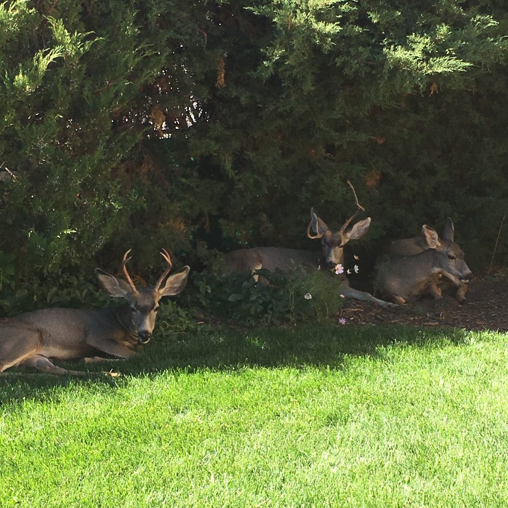 The deer love the safety of the back yard!!