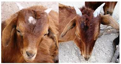 A- Goat with an area on head affected with ringworm B- Goat after receiving henna treatment. (Read more on this study here)