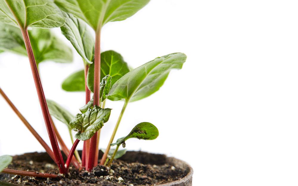 RhubarbDay2_ 0453.jpg