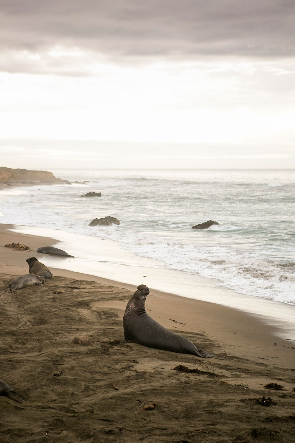Elephant Seal Rookery, San Simeon, Morro Bay, Amy Wright Photography