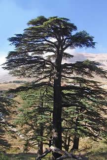 Lebanon Cedar (Cidrus lebani)
