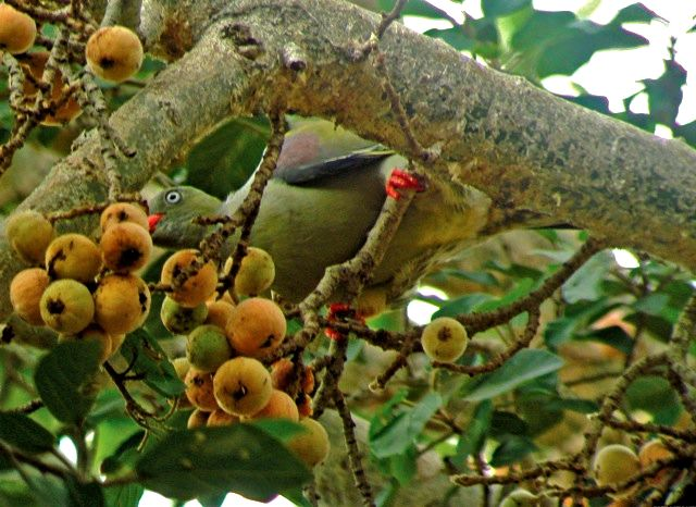 Ficus sycomorus  with Green Pigeon.