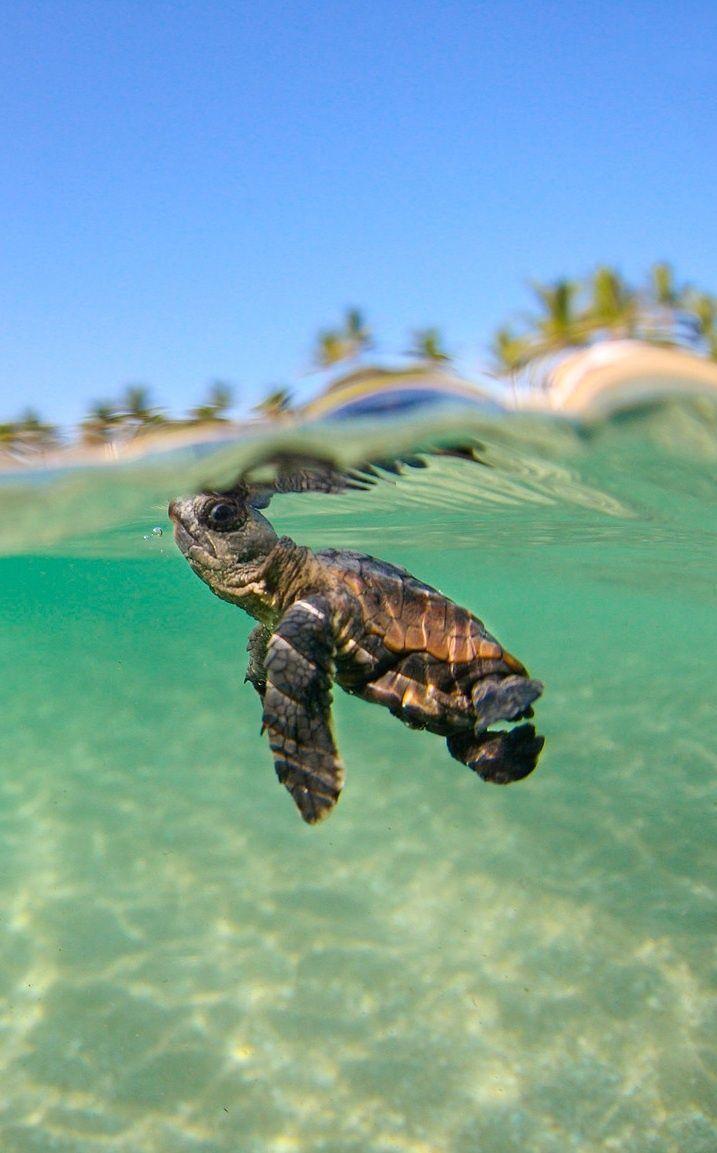 dd4e7f2f921ac28b1d5a59174d477131--cute-baby-sea-turtles-adorable-turtles.jpg