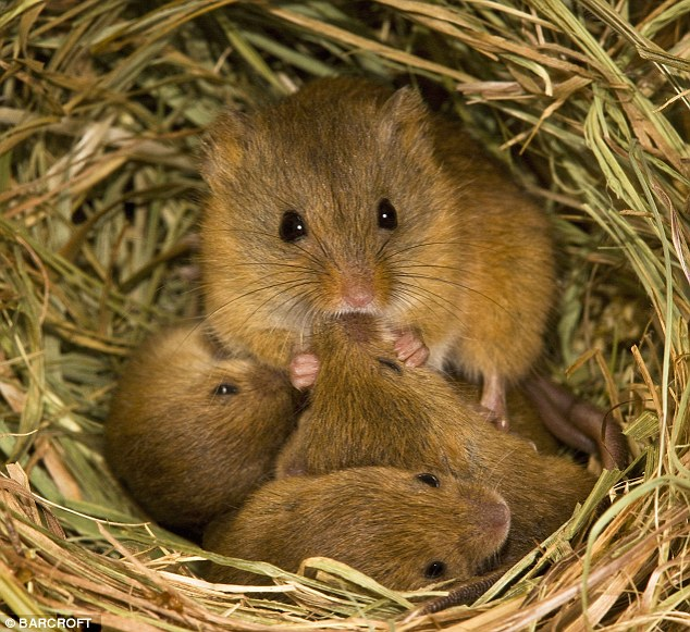 Meadow mice.