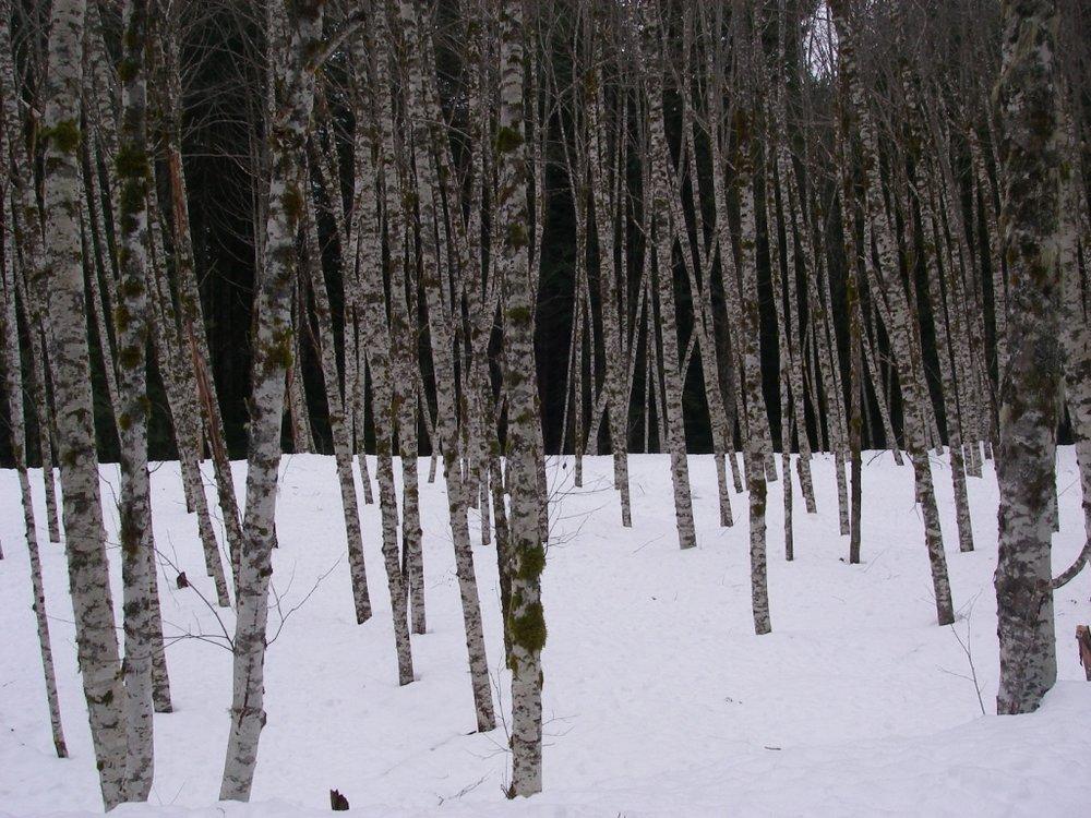 Alder trees.