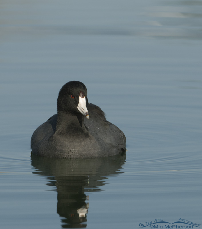 American Coot (duck).