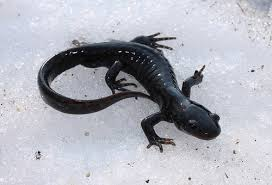 Winter salamander. Read about some  winter newts  here.