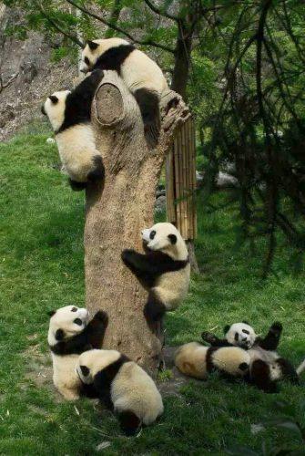 "Baby pandas in ""panda kindergarten."