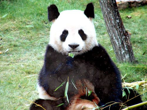 e3c9a688206d782d49852ab92bee9ae9--zoos-pandas.jpg