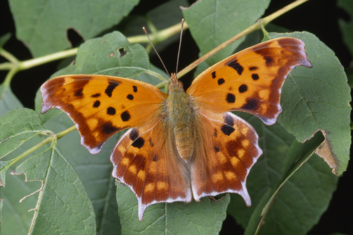 An orange question mark butterfly on a leafy twig.