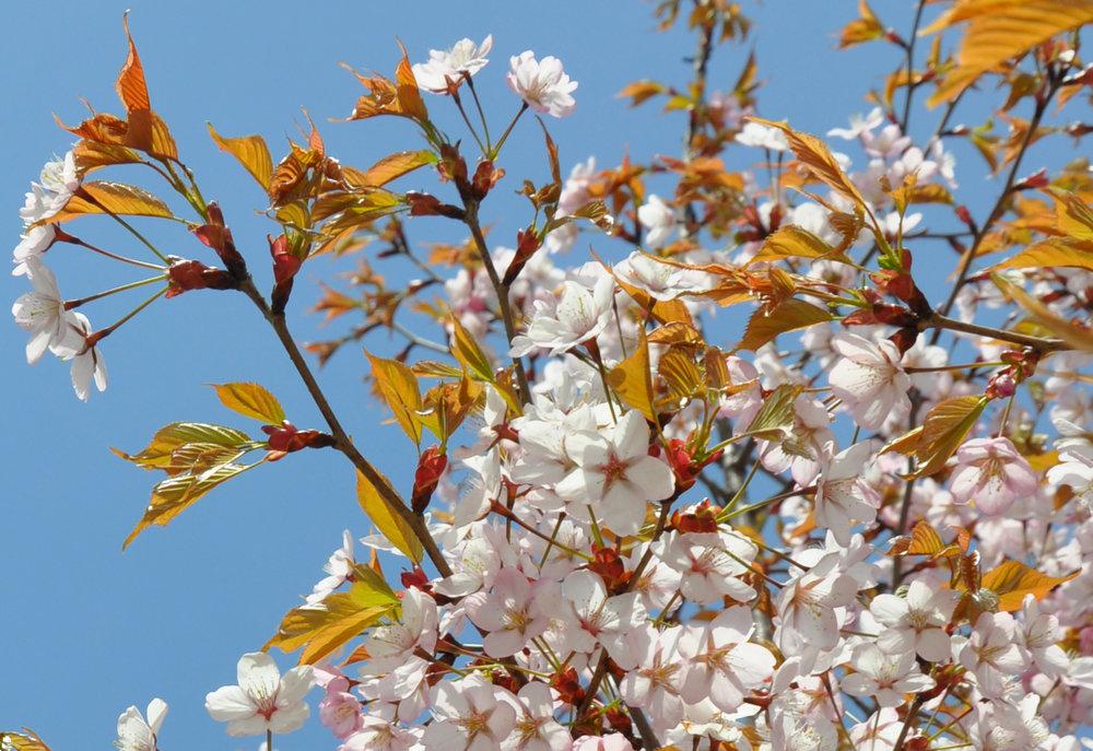 Ljusrosa körsbärsblommor mot blå himmel.