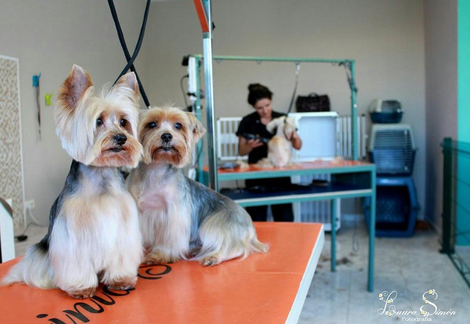 Hoy queremos hablar de otra GRAN PELUQUERA, Davinia Simón, que hizo con nosotros el Curso de Peluquería Canina en el 2012 y se quedó trabajando desde entonces. Acumula ya más de 4 años de experiencia y ha iniciado una nueva andadura abriendo recientemente, su propia peluquería canina en San Isidro.  Davinia es una gran amante de los animales y tiene un don para tratar de manera exquisita a los perros y gatos que van a peluquería. No hay más que ver su excelente trabajo en las fotos que publicamos.  Mucho ánimo en esta nueva andadura, en la que ya tenemos constancia de que estás cosechando, como en la etapa anterior, muchos éxitos.