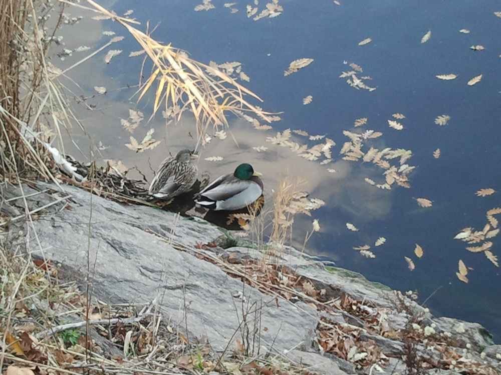 Res Ducks1 1500 2012-12-05.jpg