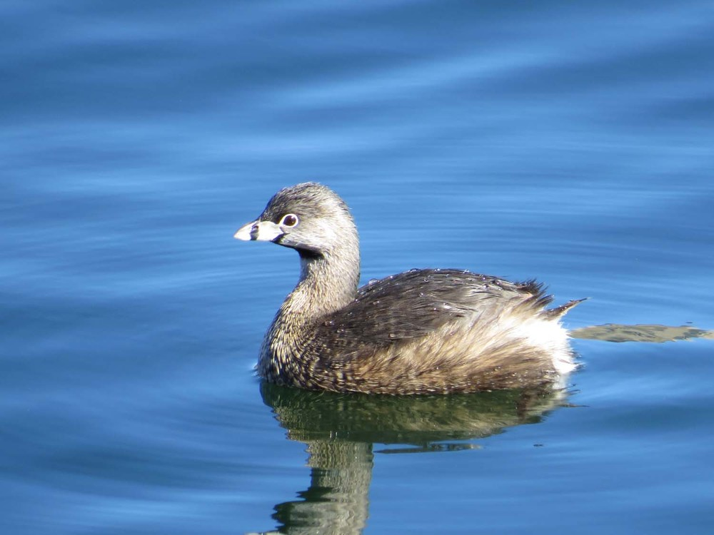 Pied-billed grebe, March 29, 2016