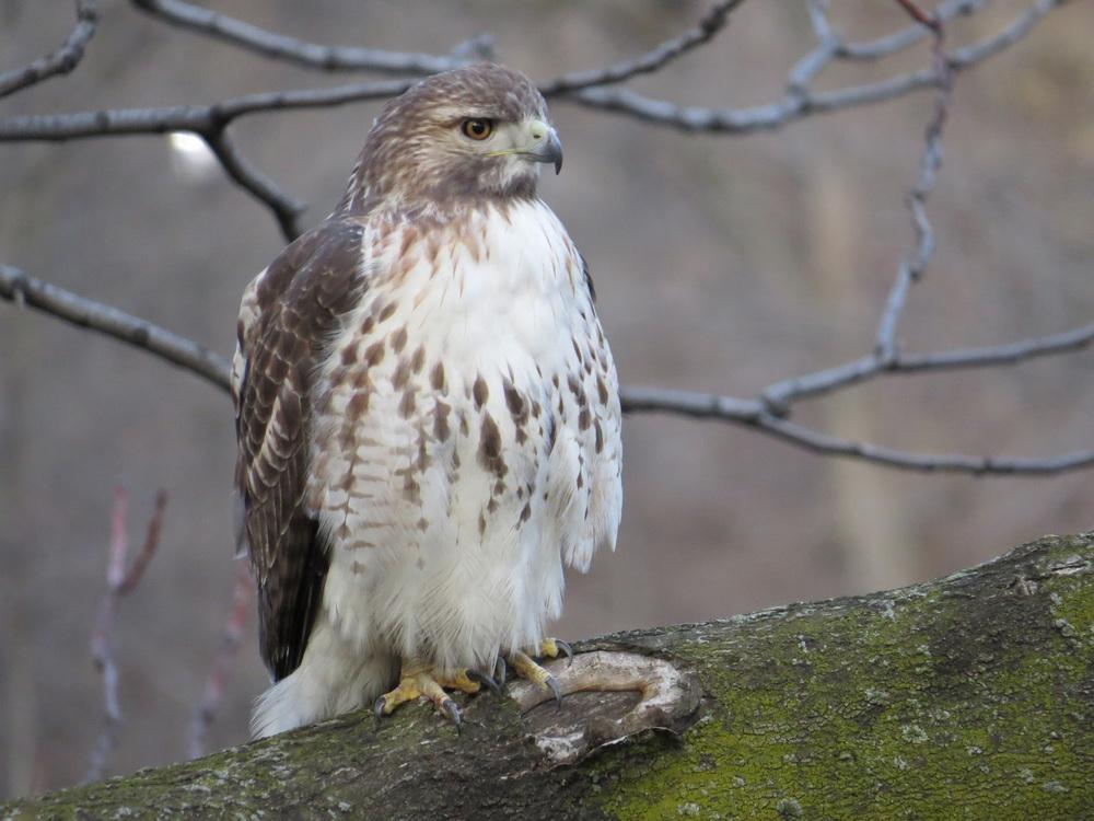 R    ed-Tailed Hawks 2