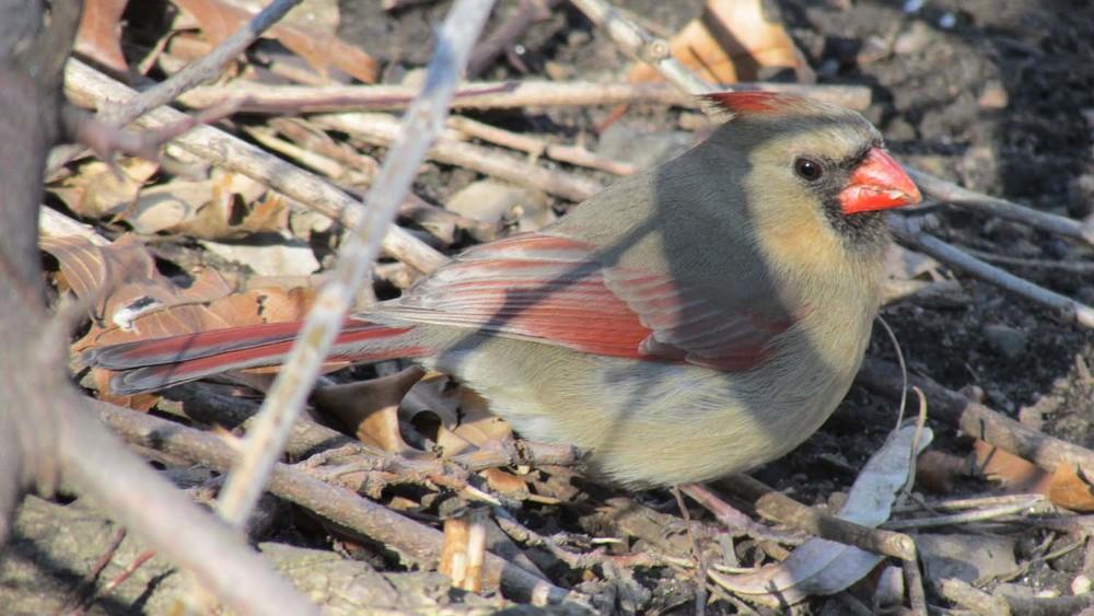 Cardinal 1500 3-2013 057.jpg