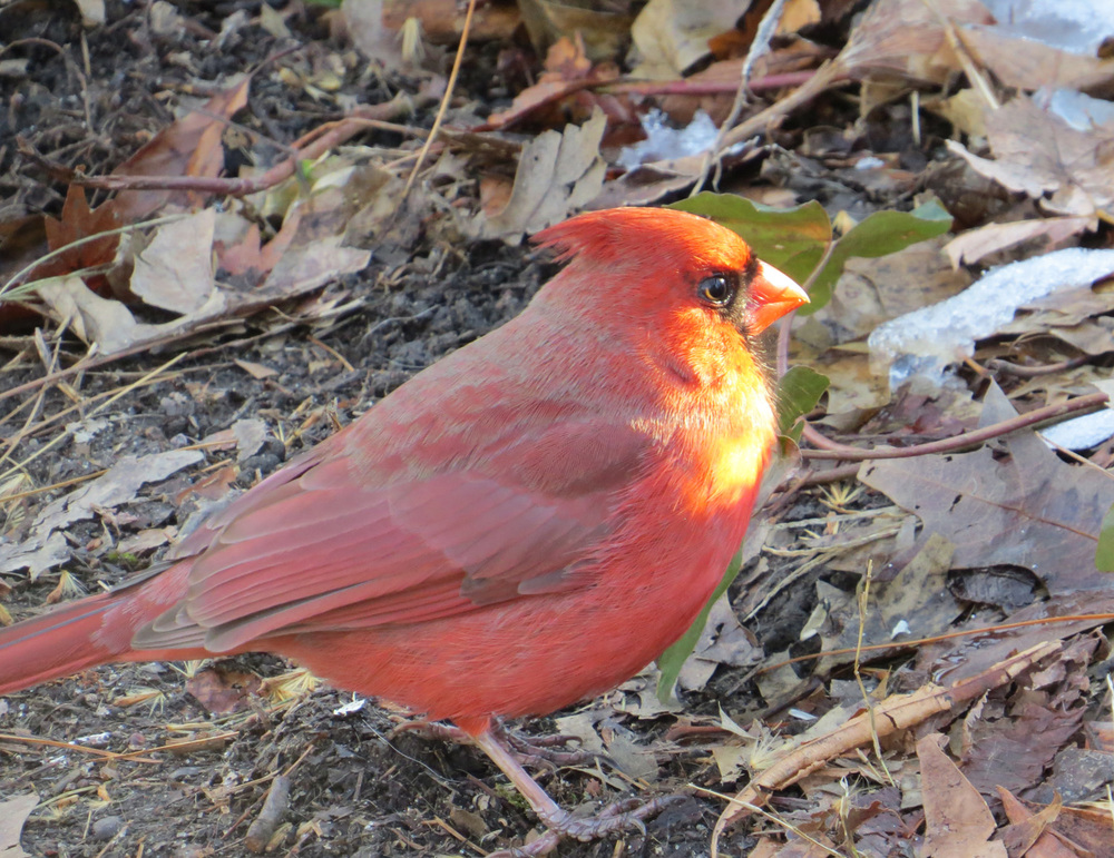 Cardinal 1500 3-4-2016 052.jpg