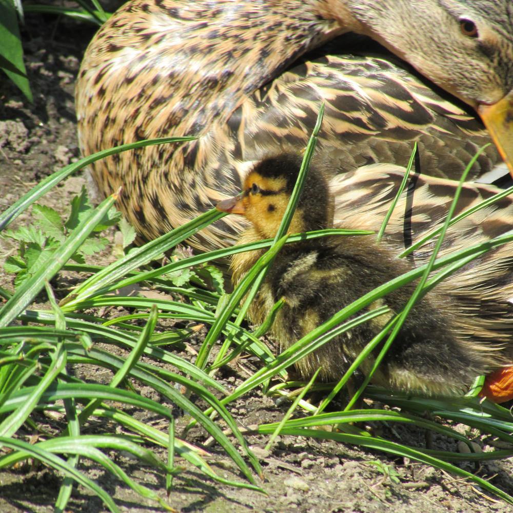 Duckling 1500 2013 152.jpg