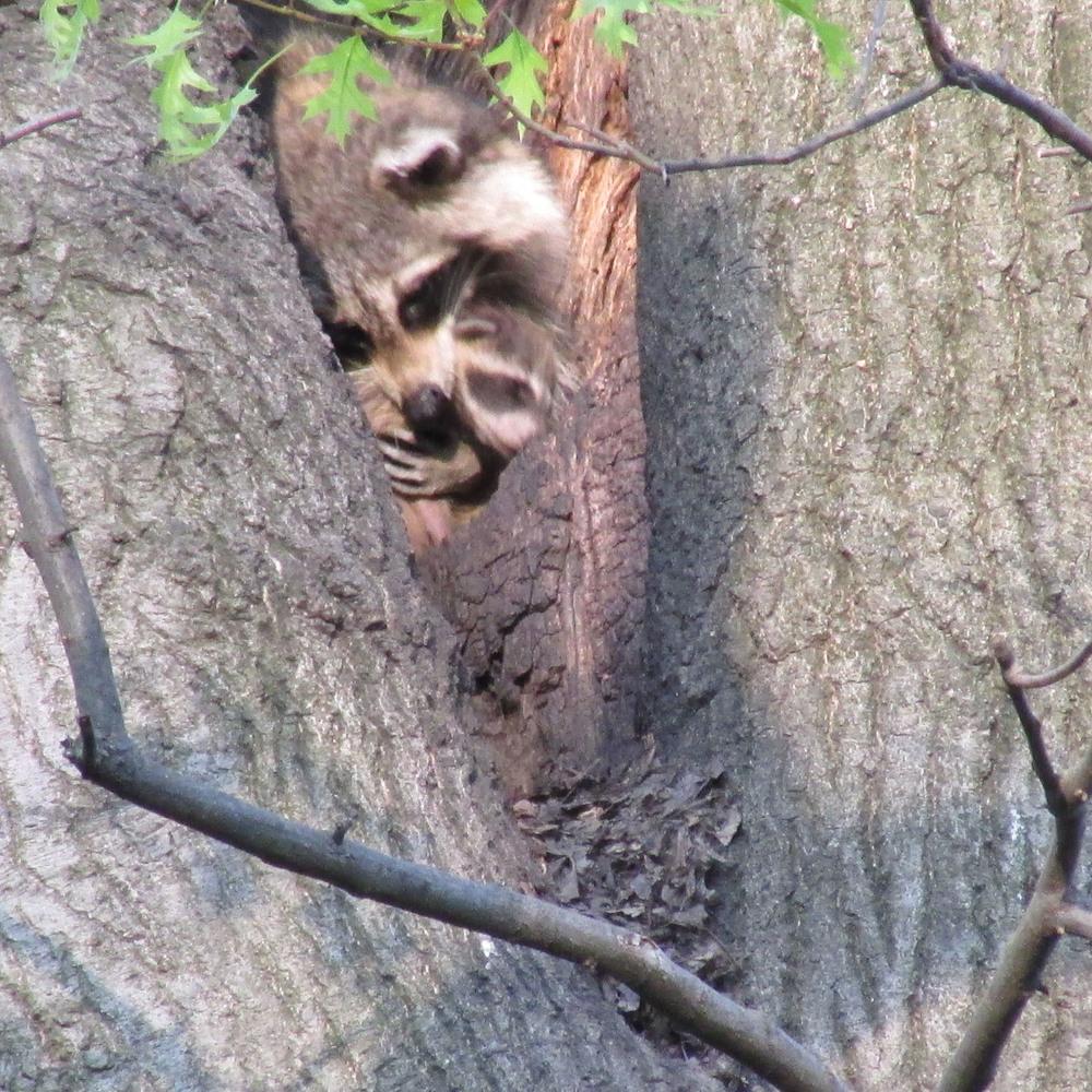Raccoons 1500 5-2-2013 237.jpg