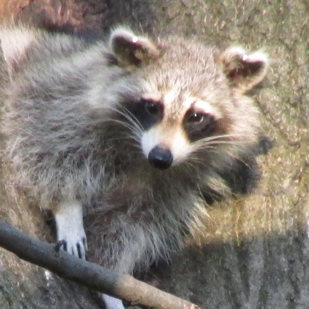 Raccoon 1500 5-2-2013 234.jpg