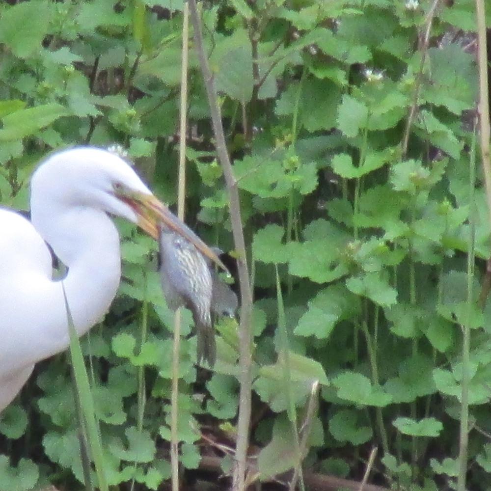 Egret fish 1500 4-2013 097.jpg