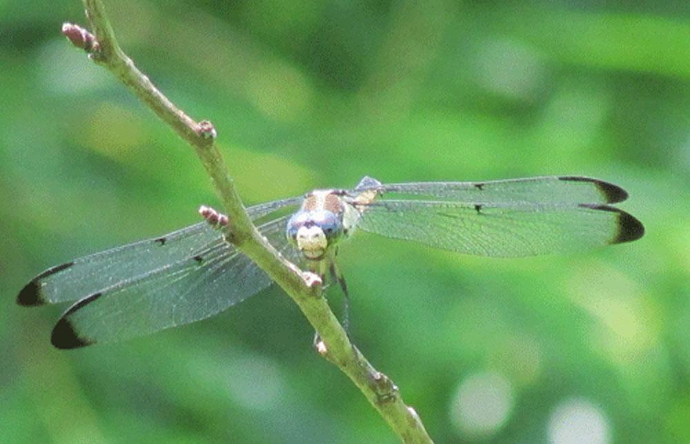 Dragonfly 1000 face.jpg