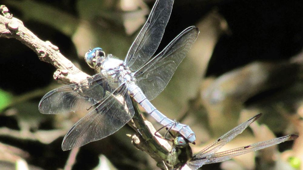 Dragonfly on twig 1500.jpg