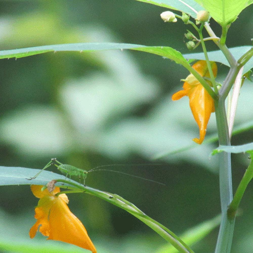 Grasshopper 1000.jpg