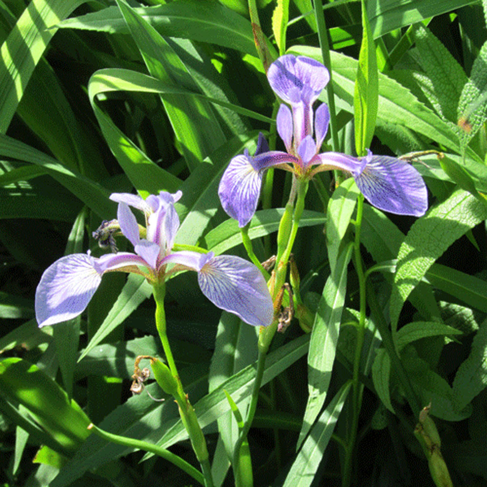 Irises 1000.jpg