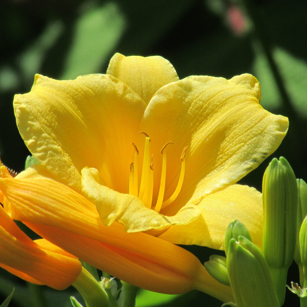 Yellow lily 1500 6-9-2013 055.jpg