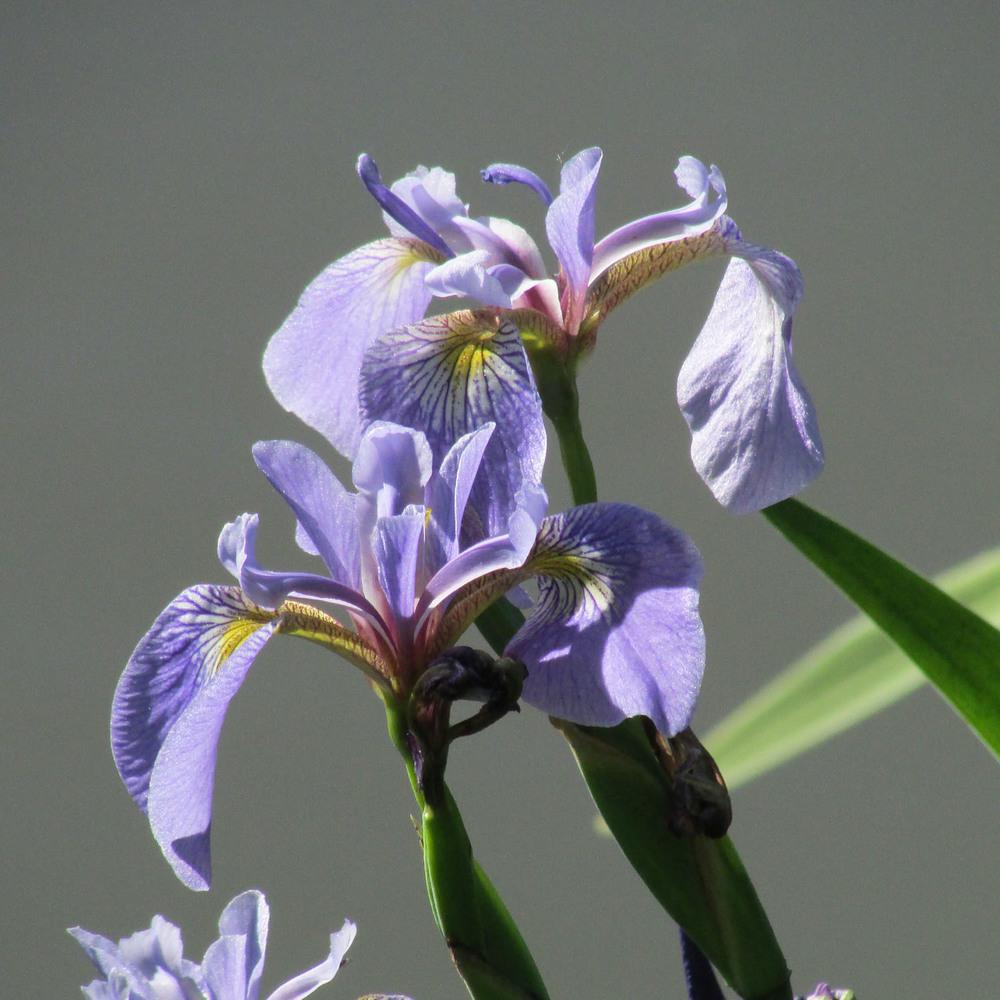 Irises 1500 6-4-2013 020.jpg
