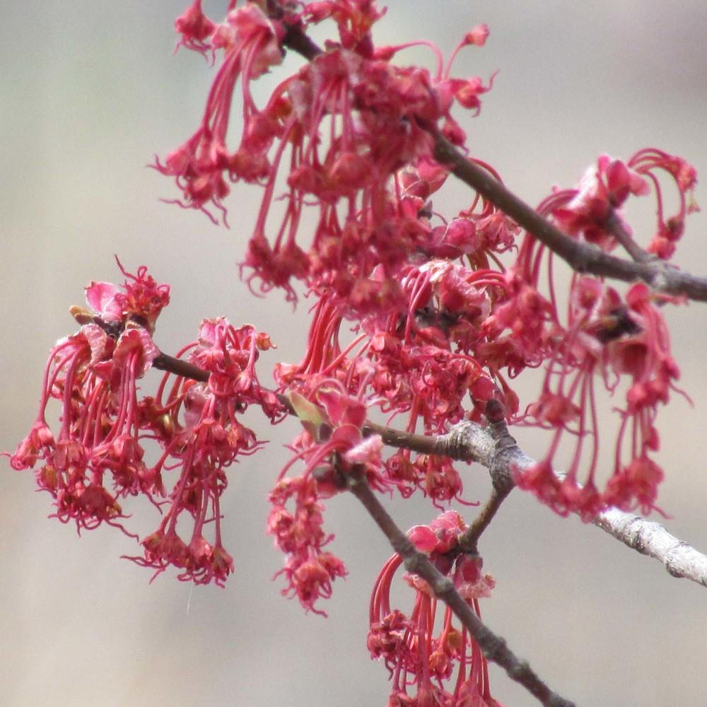 Red foliage 1500 4-2013 035.jpg