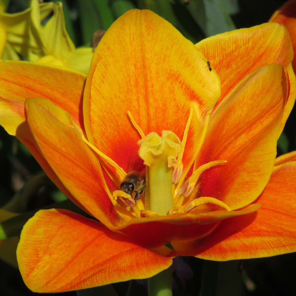 Orange Tulip 1500 256.jpg
