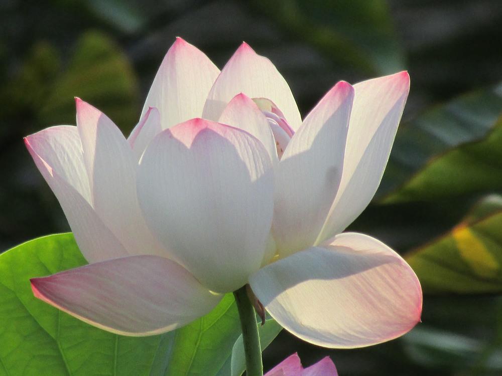 lotus blossom 7-27-2013 151.jpg