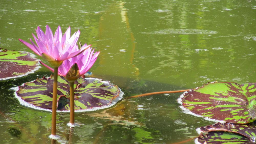water lilies 1500 7-26-2013 023.jpg