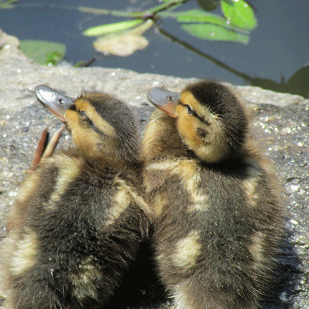 Ducklings2 1500.jpg