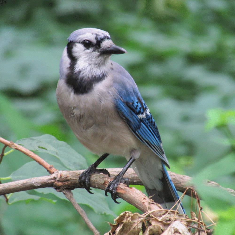 Blue Jay 1500.jpg